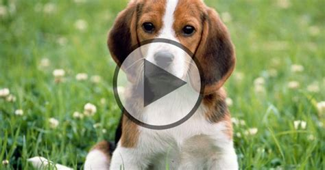 baby beagle puppies baby beagle louie beagle fan club