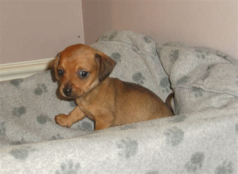 chihuahua and weiner mix chiweenie dachshund chihuahua mix photo breeds picture