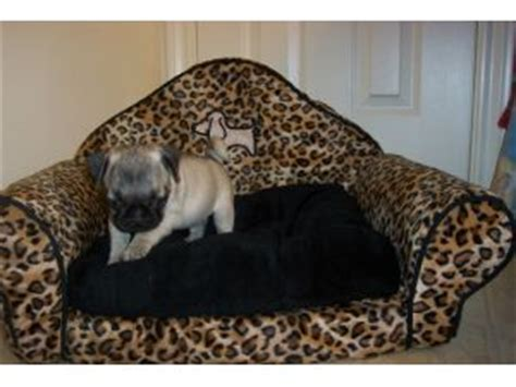 pug puppies for sale dallas pug puppies for sale in dallas area breeds picture