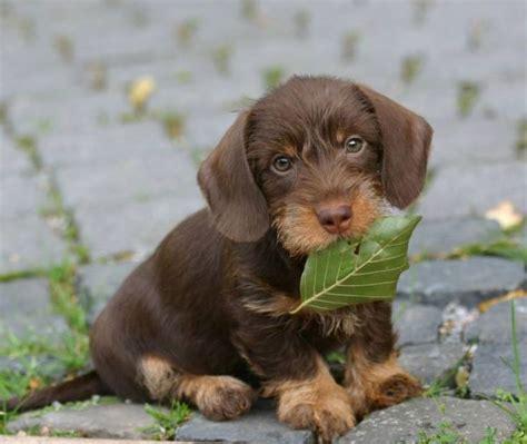 wire haired dachshund puppy 1000 ideas about dachshund puppies on dachshund miniature dachshunds and