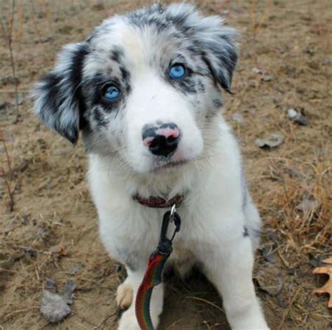 merle border collie puppies 10 best images about blue merle collies on images eye and