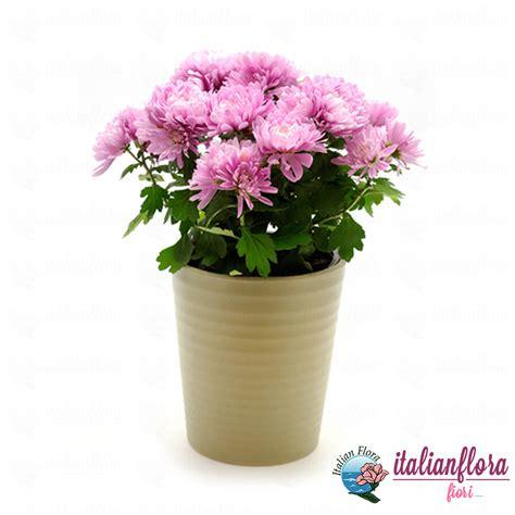 fiori a domicilio prezzi bassi vendita pianta di crisantemo rosa consegna a domicilio
