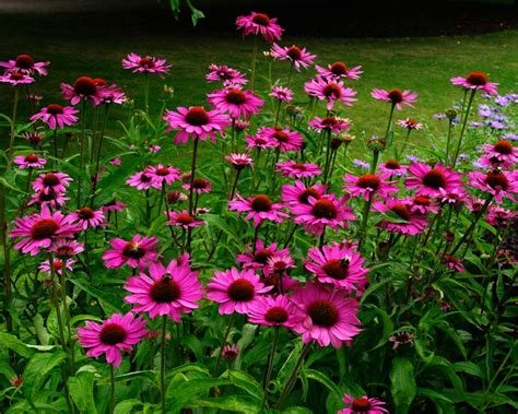 Flowers In November by Gardensonline Echinacea Purpurea