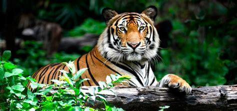 fotos animales tigres tigre caracter 237 sticas tipos de tigres qu 233 comen d 243 nde