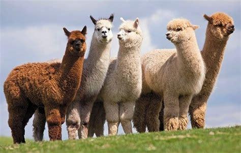 imagenes de animales llamas 191 qu 233 diferencia hay entre una llama y una alpaca