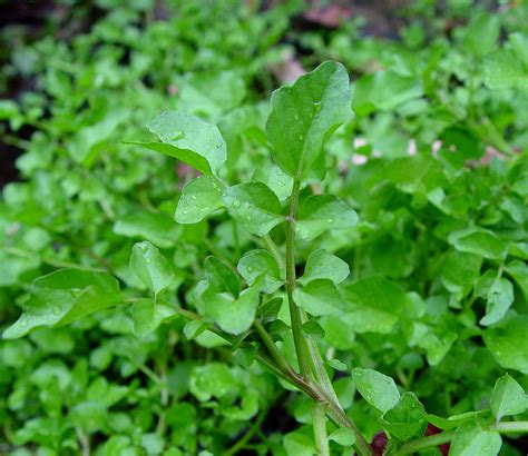lada fioritura nasturtium officinale crescione d acqua piante magiche