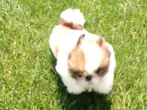 shih tzu health tests shih tzu puppy tests out legs tumbles all the place planet