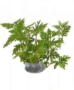 Beli Bibit Tanaman Stevia jenis tanaman obat lengkap dari a z beserta gambar dan