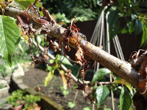 love my garden bacterial canker on ornamental cherry tree