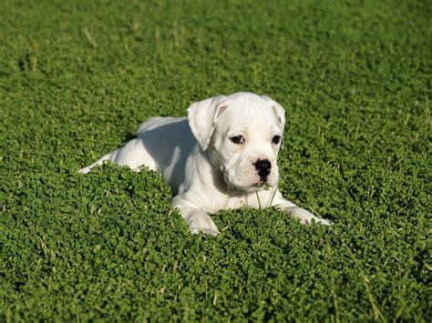 white boxer puppies boxer puppy