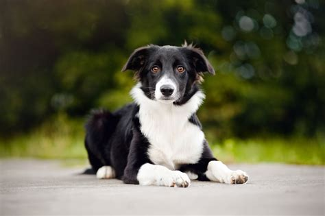 herding dogs handling and managing a herding in a domestic environment pets4homes