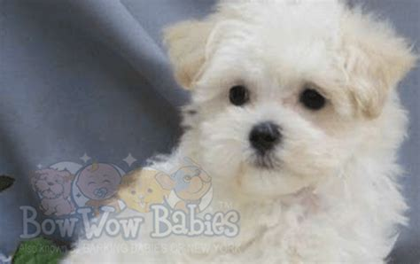 maltipoo puppies for sale ny puppies for sale huntington island ny bowwow babies