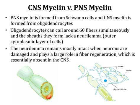 myelin is formed by the nervous system chapters ppt