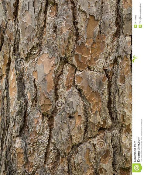 pine tree royalty free stock photo image 36159995