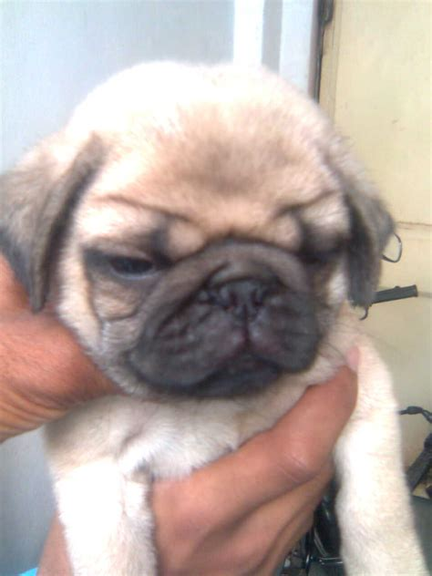 pug puppies for cheap lifeguard kennel s ads from indore madhya pradesh lifeguard s adpost