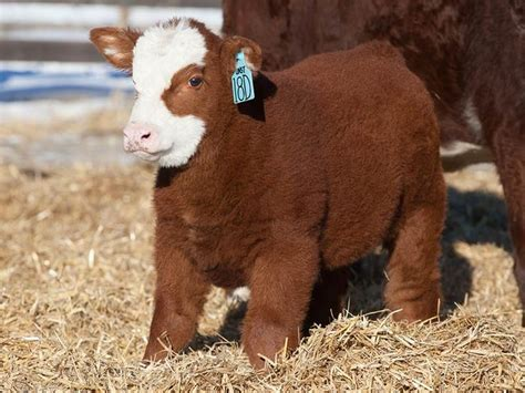 cow puppy best 25 baby cows ideas on cows baby farm animals and fluffy cows