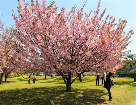 cherry tree 2015 parents guide best hanami spots in japan cherry blossoms viewing guide top 11 wandertrot