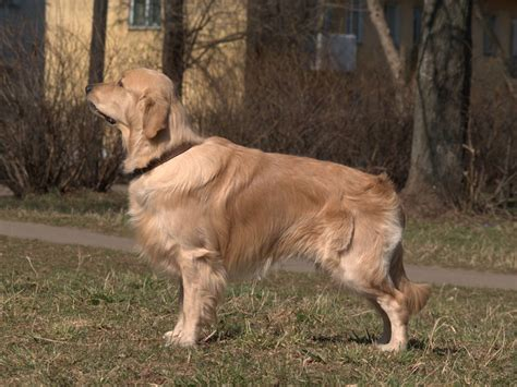 golden retriever org golden retriever simple the free encyclopedia