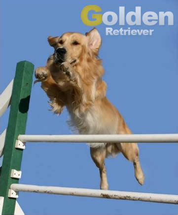 golden retriever puppy exercise diet and exercise of your web about golden retriever