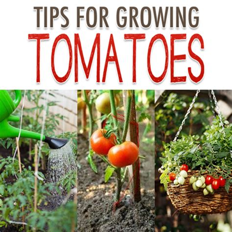 tips for growing tomatoes tomato garden tips the cottage market
