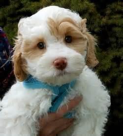 mini doodle scotia pawsitively pets