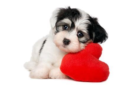 puppy background puppy hd wallpaper and background image
