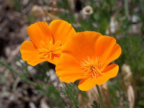 california poppy eschscholzia poppy california