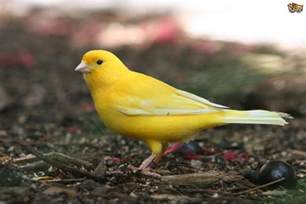 Canary by Common Illnesses In Canaries Pets4homes
