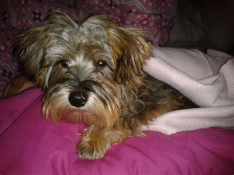 shih tzu yorkie mix for sale yorkie terriershih tzu mix puppy for sale in image breeds picture