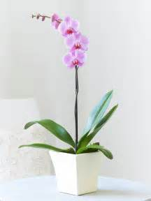 phalanopsis orchid plant peaches amp herbs flower delivery north west