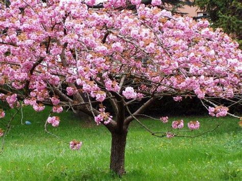 imagenes cerezo japones semillas cerezo japones prunus serrulata sakura blossom