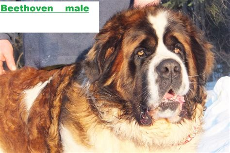 haired st bernard puppies akc bernard puppies for sale home