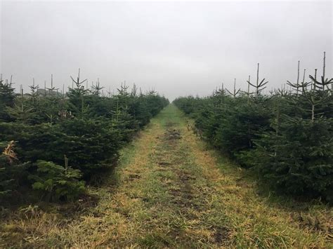 catchy collections of christmas tree farms uk fabulous