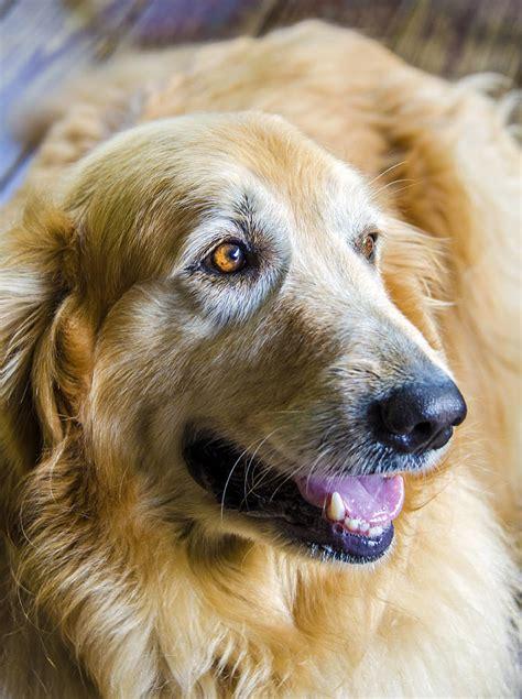 golden retriever smile golden retriever smile photograph by carolyn marshall