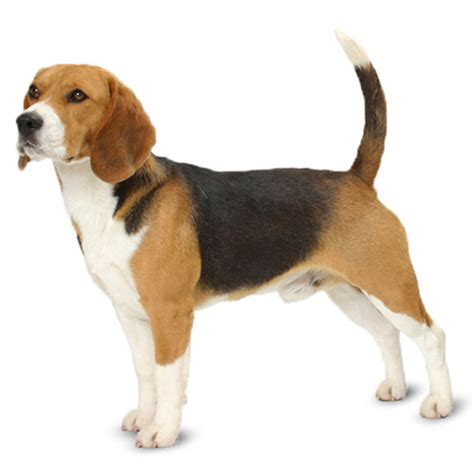how much to deworm a puppy beagle