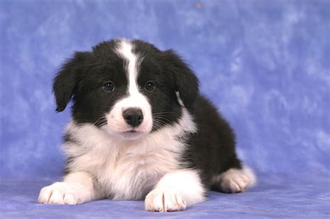 Border Collies Shedding by Border Collie Breed Information Breeds Picture