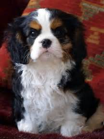 tri color cavalier i want to him hey