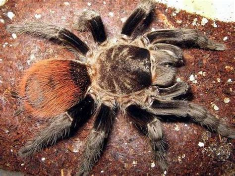 Tarantula Brachypelma Albopilosum 13cm brachypelma theraphosids tarantulas of the world