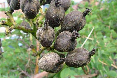 agave fruit agave fruit