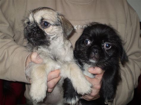 shih tzu cross pug puppies for sale shihtzu cross pug shugs puppies for sale blackburn lancashire pets4homes