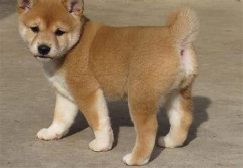 shiba inu puppies wisconsin shiba inu puppies picture breeders guide