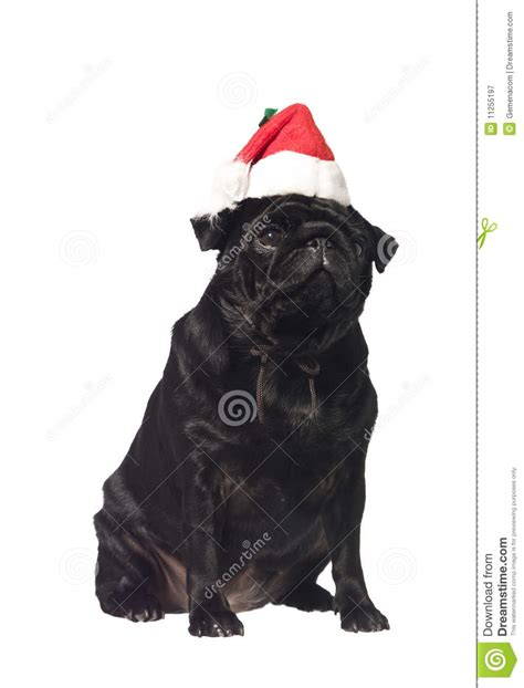 pug with hat black pug with a santa hat royalty free stock photography image 11255197