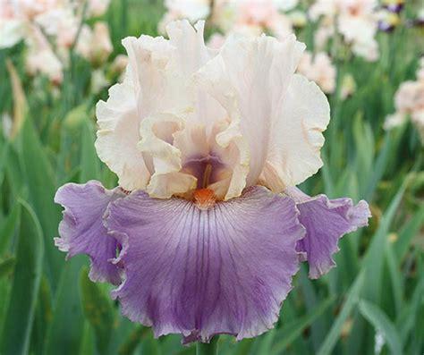 bearded iris iris absolute crush bearded iris