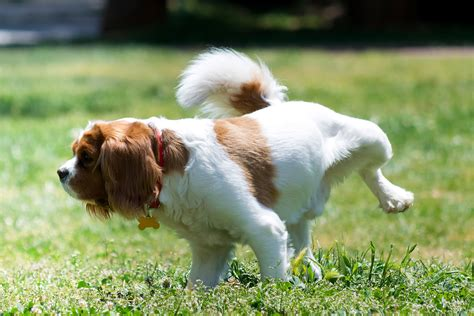 urine in dogs crystals in the urine in dogs symptoms causes diagnosis treatment recovery
