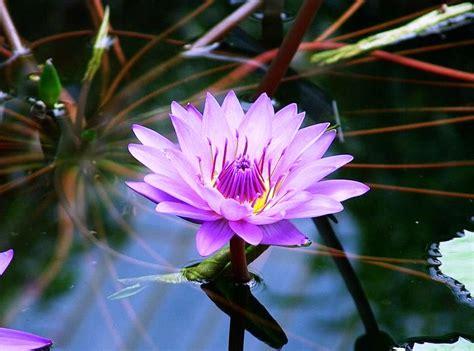 Tanaman Kembang Sepatu All Tipe 1 gambar jenis jenis bunga terindah dari berbagai penjuru dunia terbaru gambarcoloring