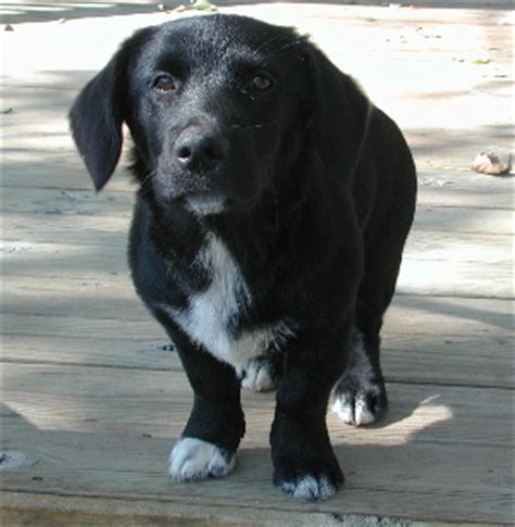 lab yorkie mix corgi black lab mix corgi mixes