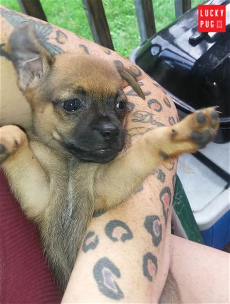 pugs crossed with russells jug hybrid breed information pictures pug cross terrier