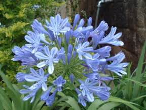 plants agapanthus how to grow when and where typesofflower com typesofflower com