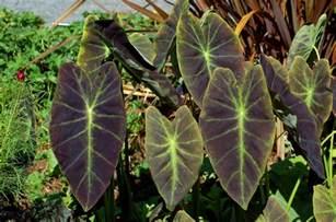 elephant ear plants how to grow a tropical superstar