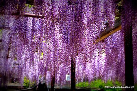wisteria flower food for wisteria flower festival